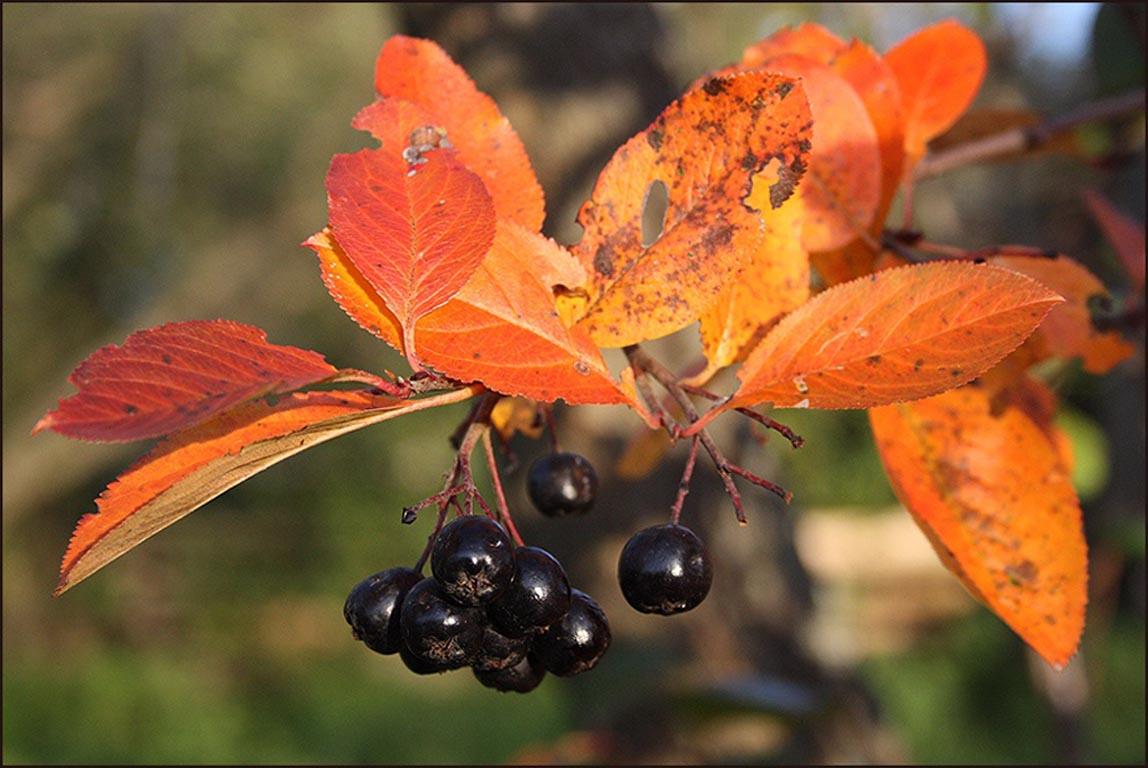 Рябина черноплодная aronia melanocarpa elliot