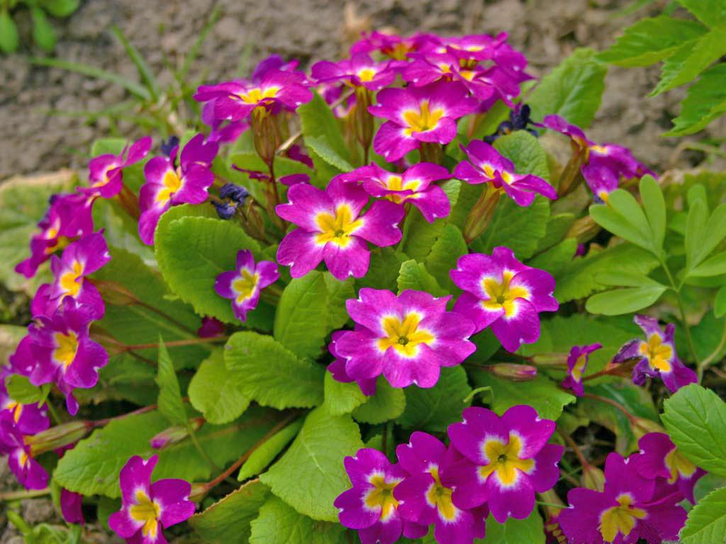 Фото цветков первоцвета